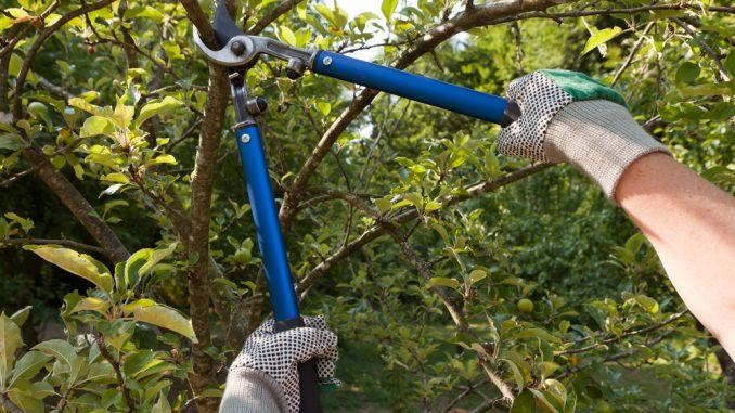 Jemand schneidet mit der Astschere einen Apfelbaum